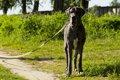 グレートデンの飼い…の画像