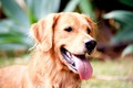 大型犬が「優しい」…の画像