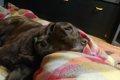 大型犬・ラブラドー…の画像