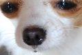 犬の春先の痒み・鼻…の画像