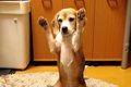 ビーグル犬のプリン…の画像