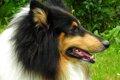 コリー犬は穏やかな…の画像