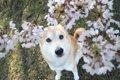 犬とお花見に行くと…の画像