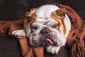 犬の顔が腫れる3つの…の画像