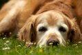 「老犬介護」で大変…の画像