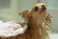 愛犬の風呂嫌いを克…の画像