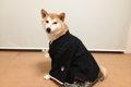 犬の正装・羽織袴で…の画像