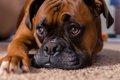 ボクサー犬の性格と…の画像