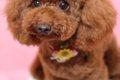 小型犬の人気ランキ…の画像