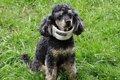 犬の気管虚脱の正し…の画像