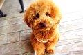 トイプードルの飼い…の画像