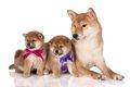 柴犬の価格について…の画像