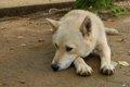 犬のアカラス症の原…の画像