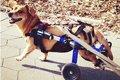犬の車椅子!歩けな…の画像