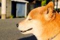 柴犬が噛む時のしつ…の画像