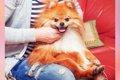 愛犬が「ひざ」に乗…の画像