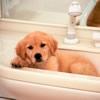 犬を自宅でシャンプ…の画像
