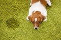 犬のうれしょんの治…の画像