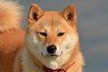 柴犬が老犬になった…の画像