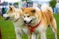 秋田犬の成犬の大き…の画像