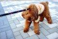 犬が散歩で歩かない…の画像
