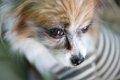 犬の花粉症は皮膚に…の画像