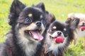 愛犬の口腔ケアで健…の画像