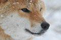 日本犬保存会とは …の画像