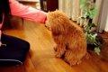 犬におすわりを教え…の画像