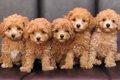 小型犬の出産がリス…の画像