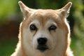 犬の白内障の正しい…の画像