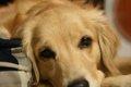 犬の子宮蓄膿症につ…の画像