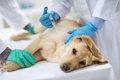 老犬にワクチン接種…の画像
