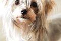 チワワのミックス犬…の画像