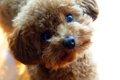 トイプードルの子犬…の画像