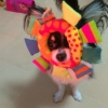 小型犬チワワの3つの…の画像