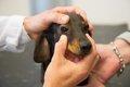 犬のマイボーム腺腫…の画像