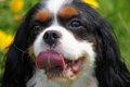 犬のチアノーゼの原…の画像