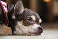 犬の喘息の正しい知…の画像