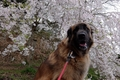 犬と楽しめる花見ス…の画像
