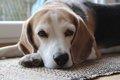 犬の仮病についての画像