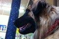 垂れ耳の犬種がかか…の画像