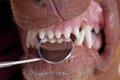 犬の歯槽膿漏(歯周…の画像