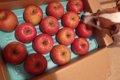 犬はりんごを食べて…の画像