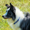 愛犬はボーダーコリ…の画像