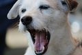 犬があくびをする理…の画像