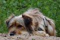 老犬の目を傷つける…の画像