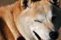 柴犬の飼い方につい…の画像