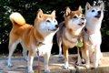 柴犬親子のお散歩写…の画像