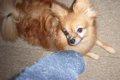 犬は靴下好き!理由…の画像
